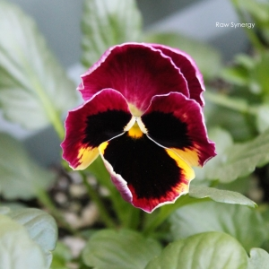 Pansy from garden IG
